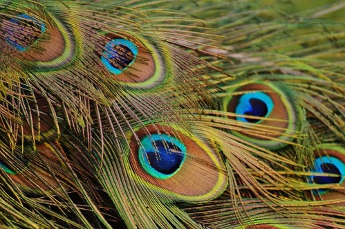 peacock-feathers-1312509_640